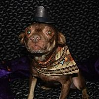 Adopt A Pet Waylon Hamilton On Chihuahua Rescue Chihuahua