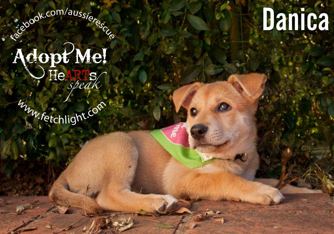 Dog of the Month Aussie Rescue San Diego Lab shepherd