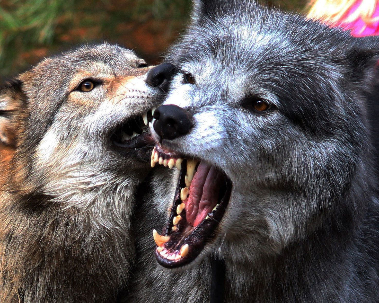 картинки волка который укусила всегда много людей