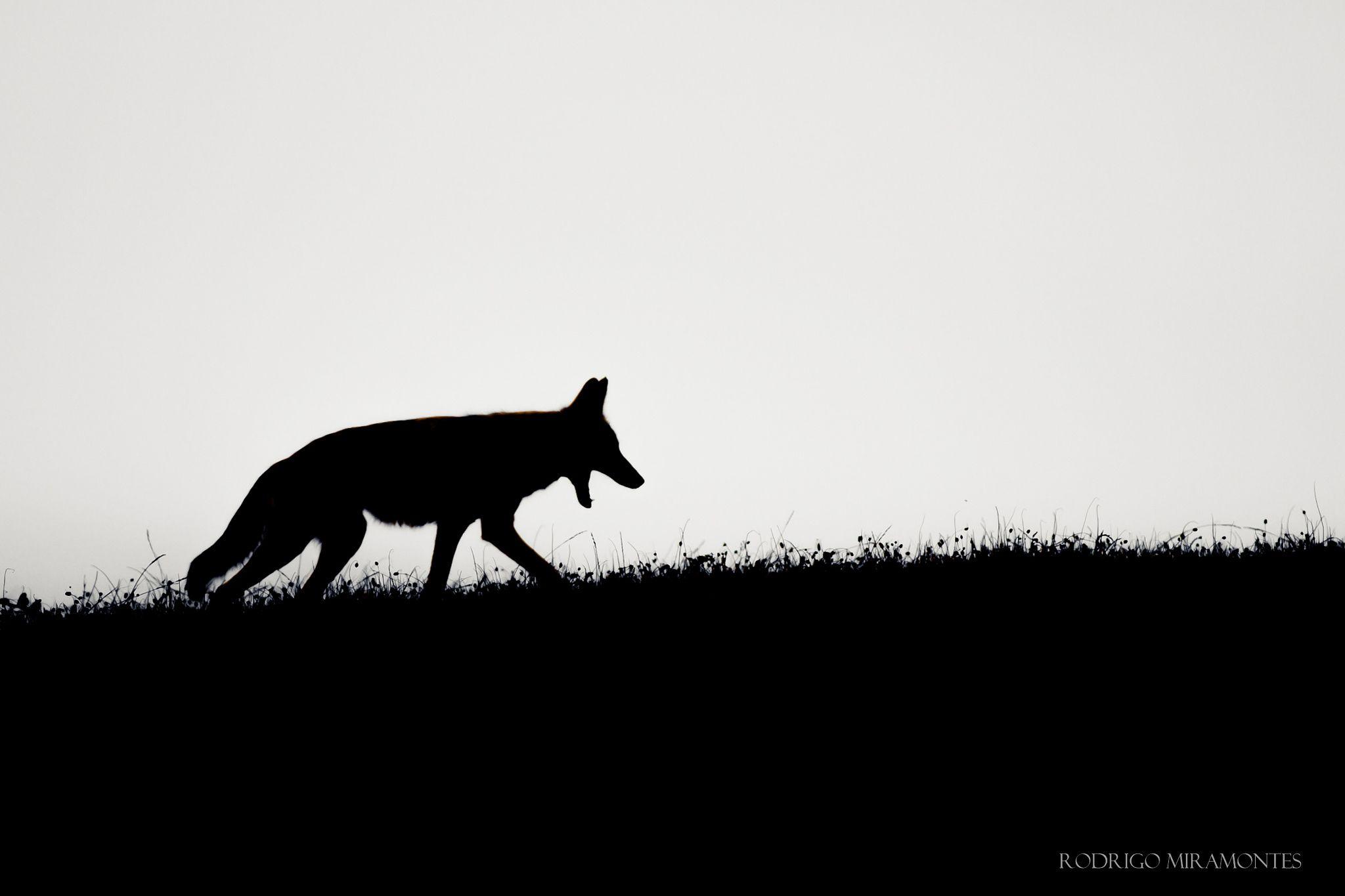 Coyote on the hunt by Rodrigo Miramontes on 500px Coyote