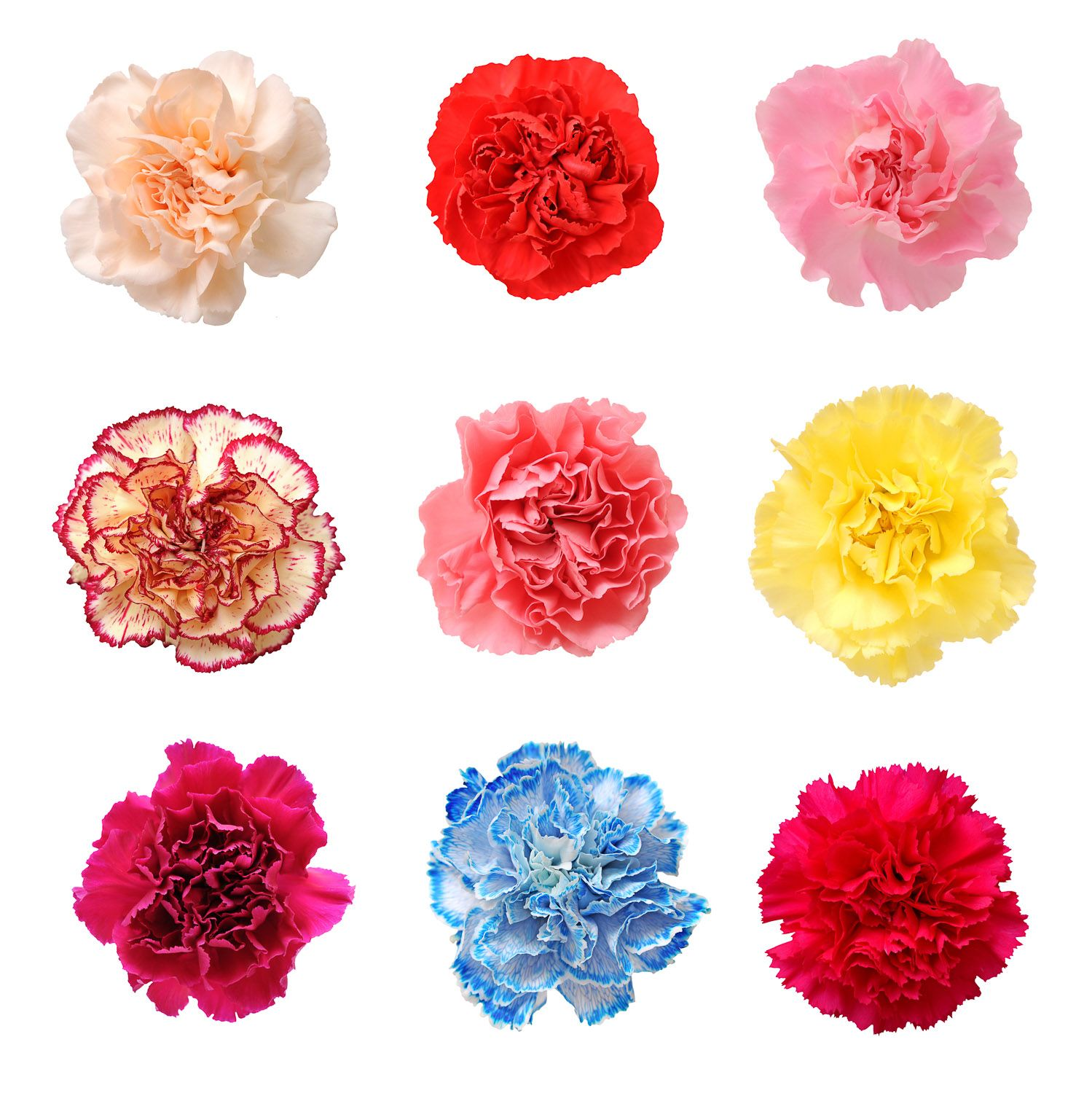 Wedding Flowers | Carnations. BIRTHDAY MONTH: January. COLORS ...