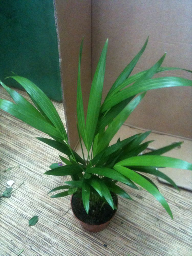 Areca Palm Plant Care Planting Growing Cutting Pruning Diseases