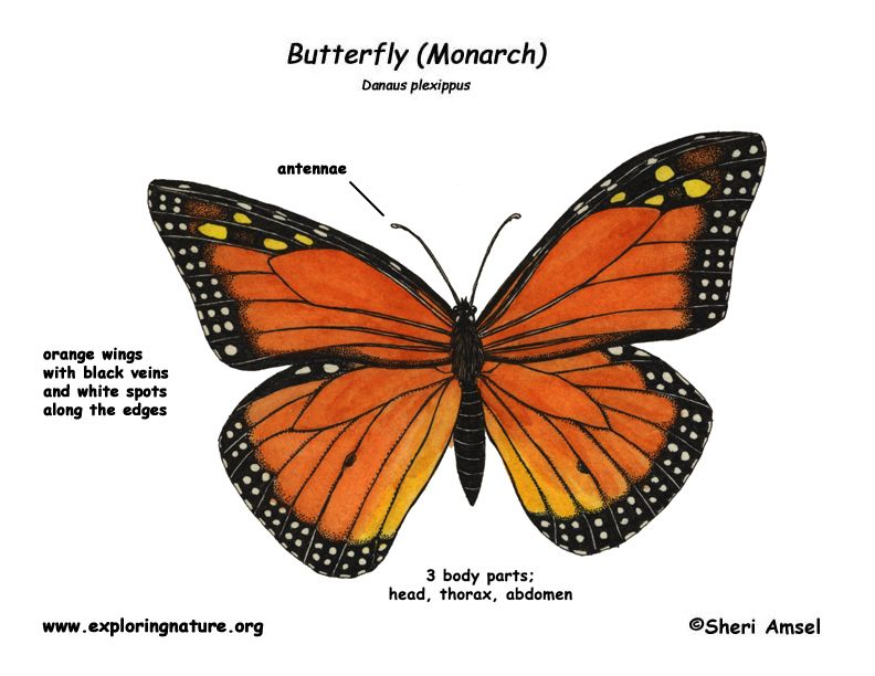 Butterfly Body Parts : Monarch butterfly animation caterpillar clipart