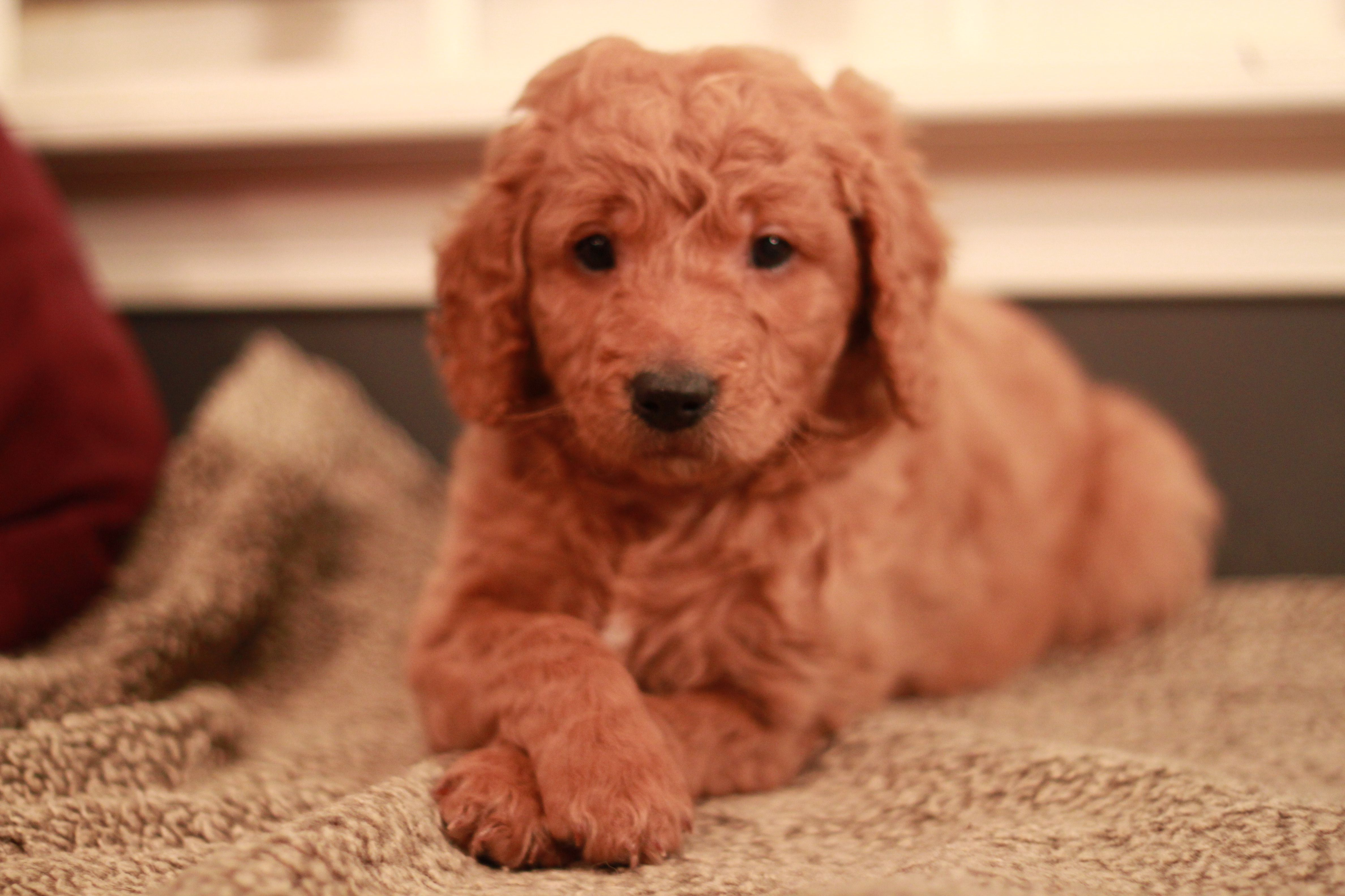Teddy Red Goldendoodle Puppy At 6 Weeks Old From