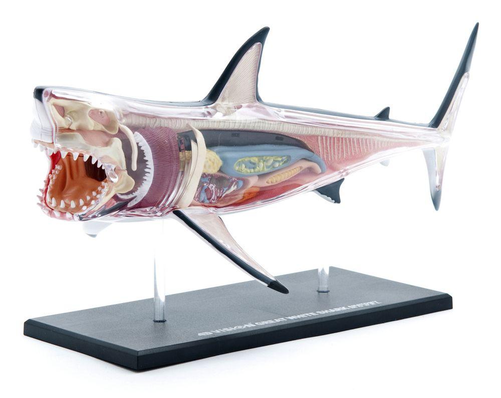 4d Anatomy Shark | Apartment / Home Accessory Ideas | Pinterest ...