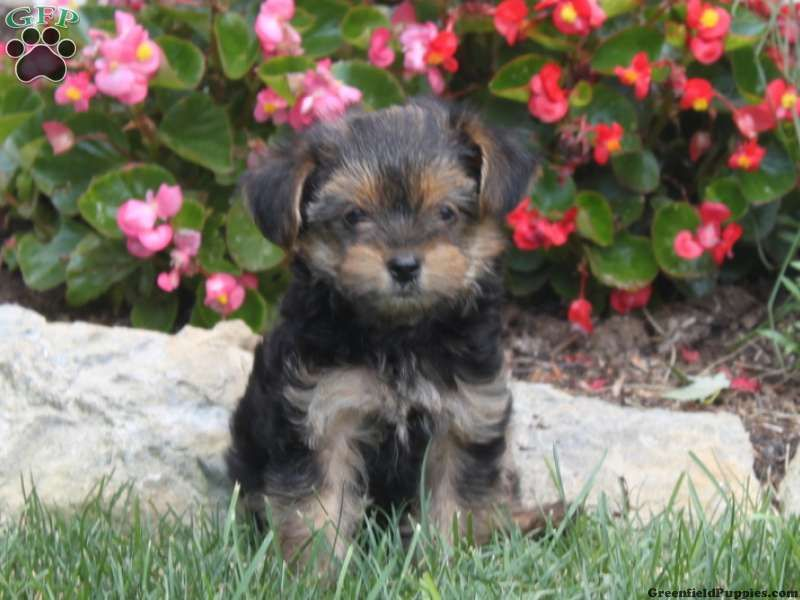 Dimples, YorkiePoo puppy for sale from Landisville, PA