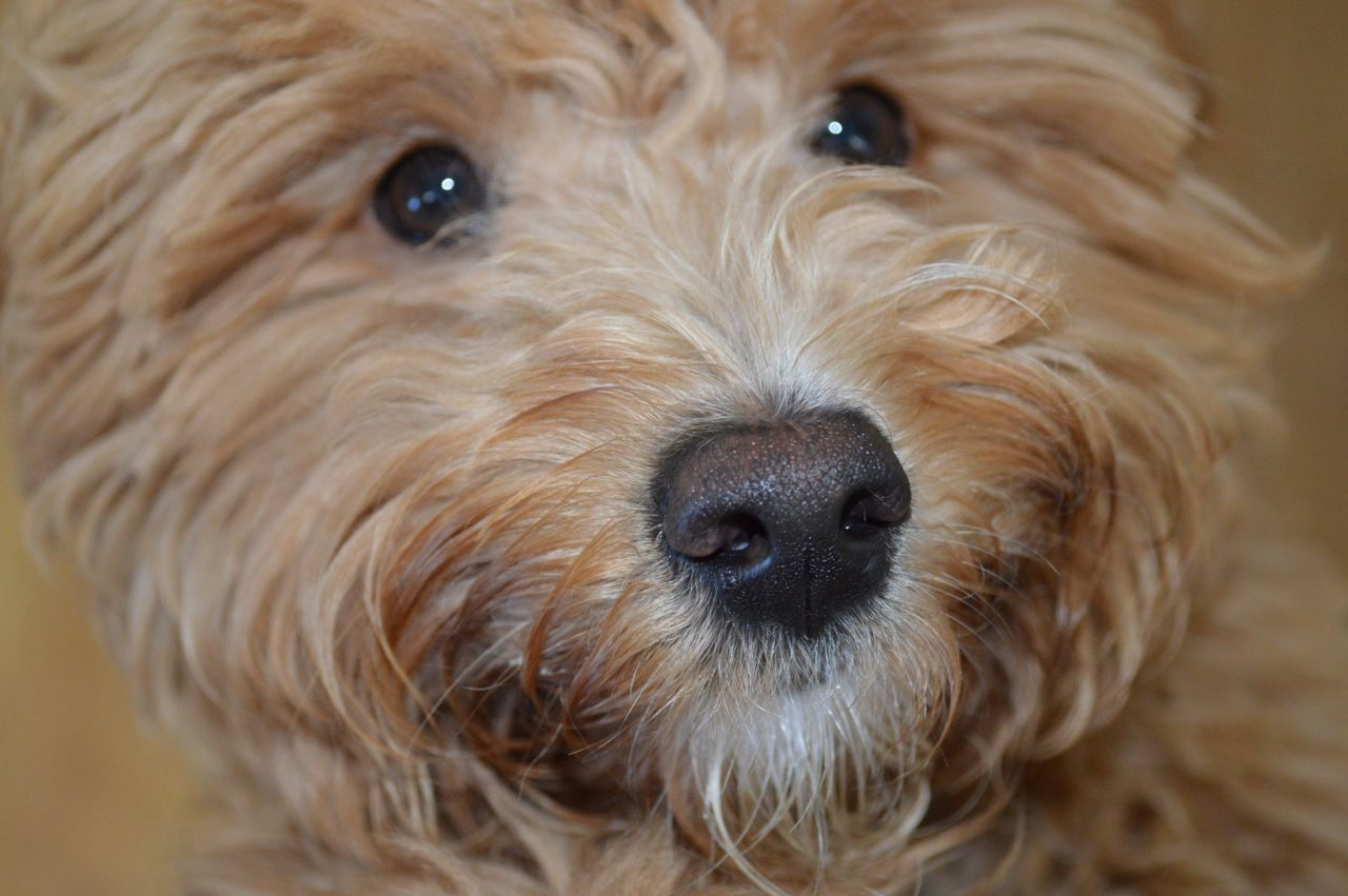 Australian Labradoodle Puppy Australian labradoodle