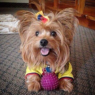 Colombia Yorkie Yorkie Lovers Yorkie Dog House