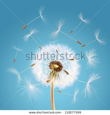 Overblown dandelion with seeds flying away with the wind