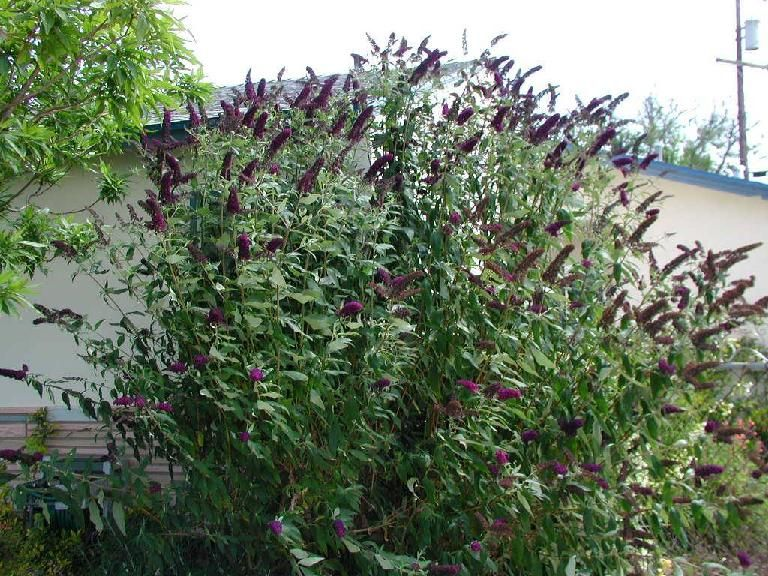 black knight butterfly bush planted one this year exercise i should do pinterest. Black Bedroom Furniture Sets. Home Design Ideas
