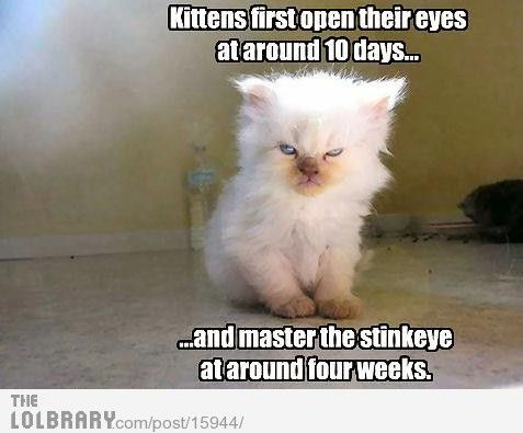 Kittens First Open Their Eyes At Around 10 Days And Master The Stinkeye At Around Four Weeks Chistes De Animales Animales Graciosos Animales Chistosos