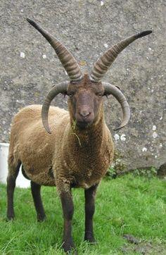 Manx loaghtan sheep - horn reference