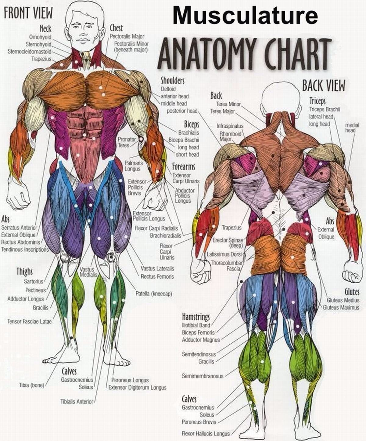 body building anatomy chart from gym posters [ 1200 x 1444 Pixel ]