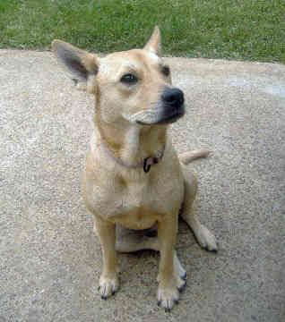 carolina dog photo | Carolina Dogs - Dogs - Niala Jean