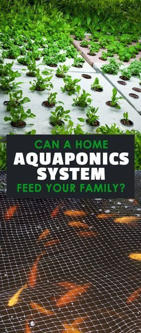 How A Home Aquaponics System Can Feed Your Family…Forever#aquaponics #familyforever #feed #home #system