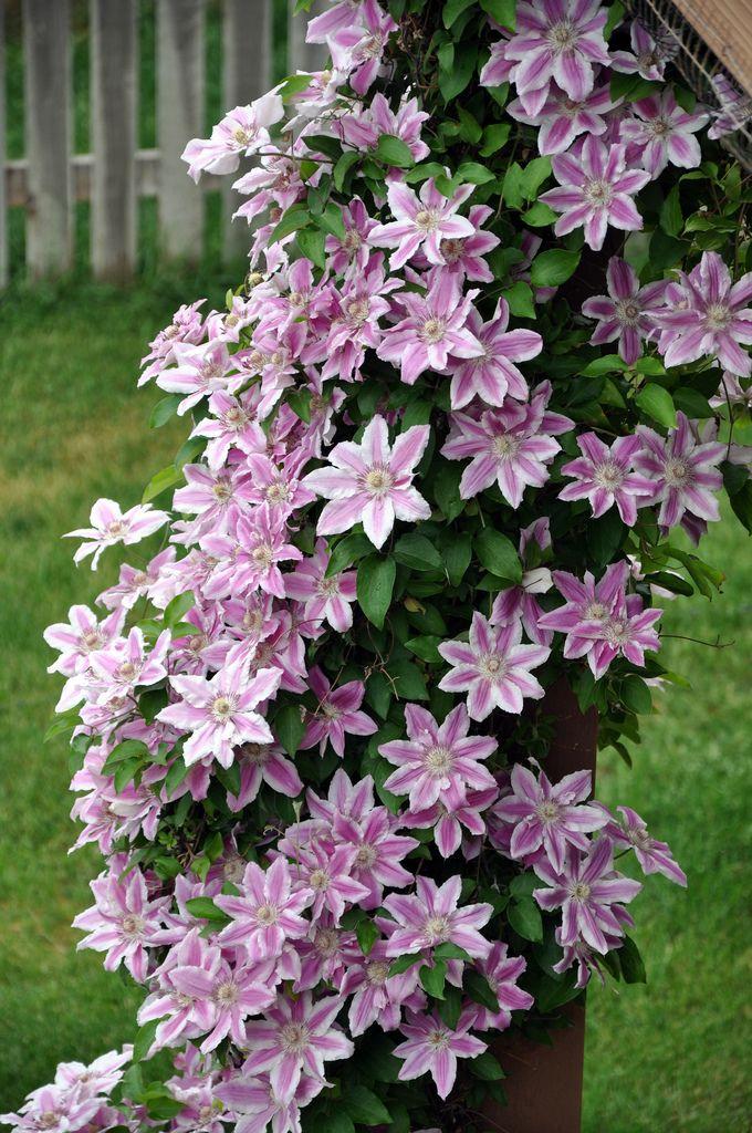 clematis vine meine sch ne garten pinterest rankpflanzen rosa bl te und gartenblumen. Black Bedroom Furniture Sets. Home Design Ideas