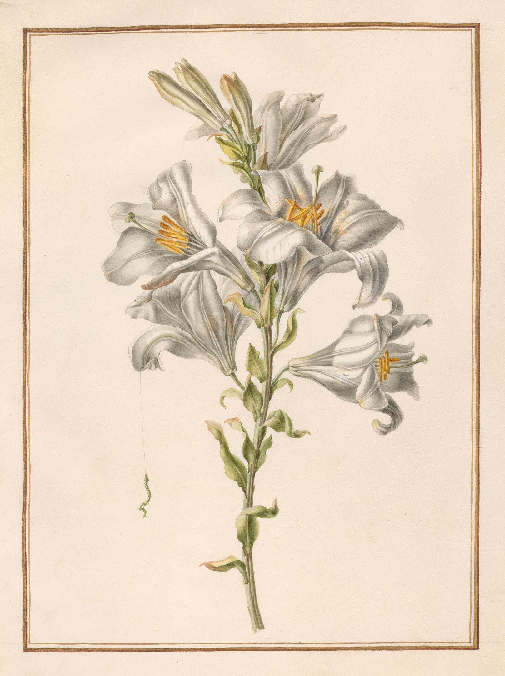 Circle Of Madeleine Francoise Basseporte Botanical Illustration Botanical Art Scientific Drawing