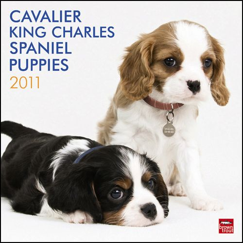 Puppies Cavalier King Charles Spaniel King Charles Spaniel King Charles Cavalier Spaniel Puppy