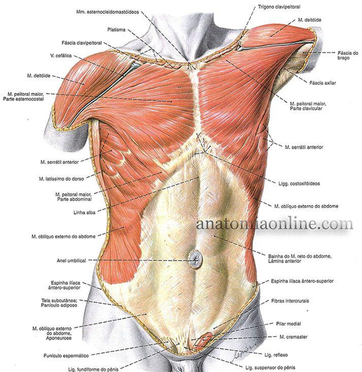 Explicacao Torax x abdomen- Músculos do tórax e do abdome, camada ...