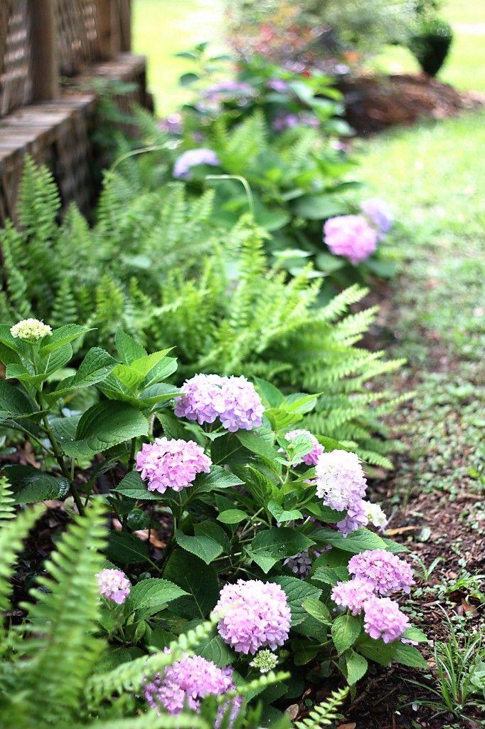Dreamy Hydrangeas Hydrangea Landscaping Hydrangea Garden Above Ground Pool Landscaping