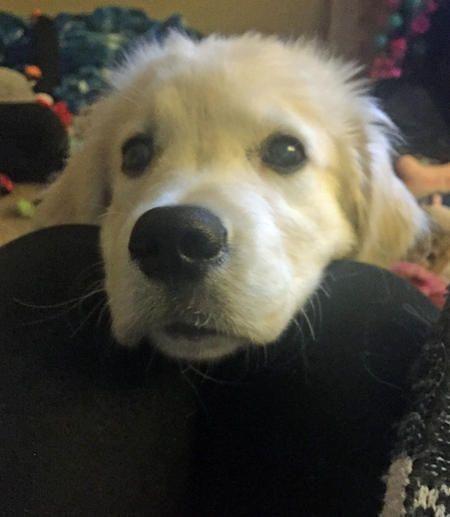 21f3c5c223de5 The Daily Puppy Nugget the Golden Retriever❤❤❤ #labradorretriever # goldenretriever #3 #new #pinterest #dog #doglovers #love #like4like