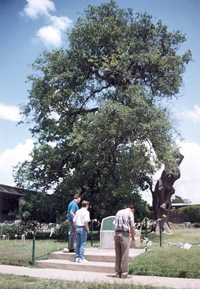 The Treaty Oak in Austin, Texas. Lost is shape and magnificent wingspan after a deliberate poisoning in 1989 by some lunatic who spent 9 years in prison for the crime. The tree was miraculously saved and is well over 500 years old . . .