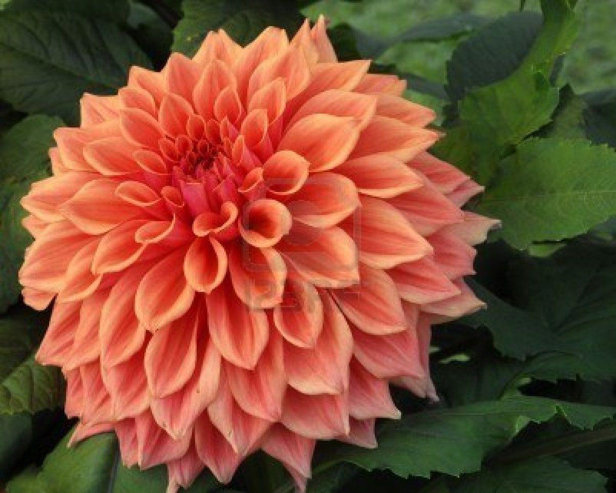 Dahlia I Like This Angle Dahlia Flower Rare Flowers Flower Images