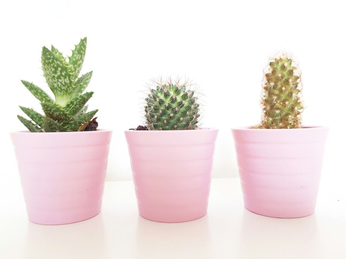 Cactus Planting Pots Cactus In Pink Pots Projects Plants Cactus Mini Plants