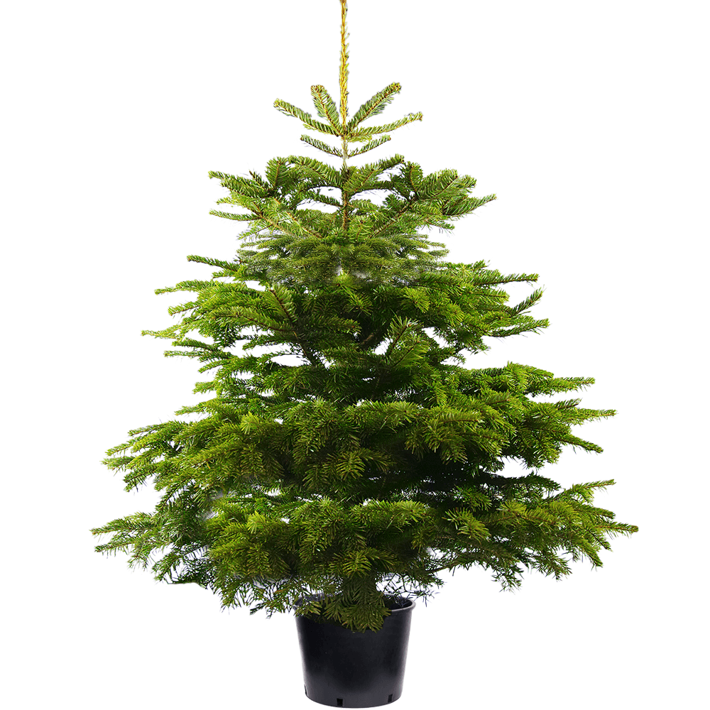 Christmas Trees Direct Are Proud To Present The Uk S Most Popular Real Live Christmas Tree The No Potted Trees Potted Christmas Trees Christmas Tree Varieties