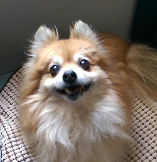 Meet Leo, a Petfinder adoptable Pomeranian Dog