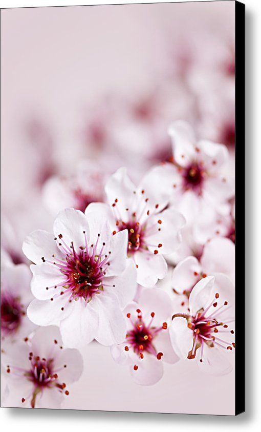 Cherry Blossoms Canvas Print Canvas Art By Elena Elisseeva In 2021 Cherry Blossom Flowers Flowers Photography Flowers