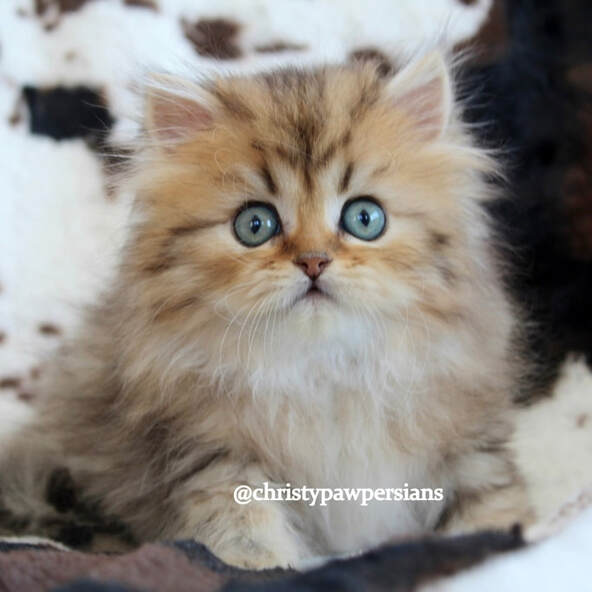 Golden Persian Kittens For Sale Christypaw Persians Persian Kittens Persian Kittens For Sale Kitten For Sale