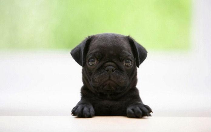 Love Fluff Marvo Pups Black Pug Puppies Cute Pugs Cute Animals