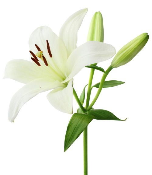 The Meaning Behind 10 Popular Valentine S Day Flowers Lily Flower White Lily Flower White Lilies