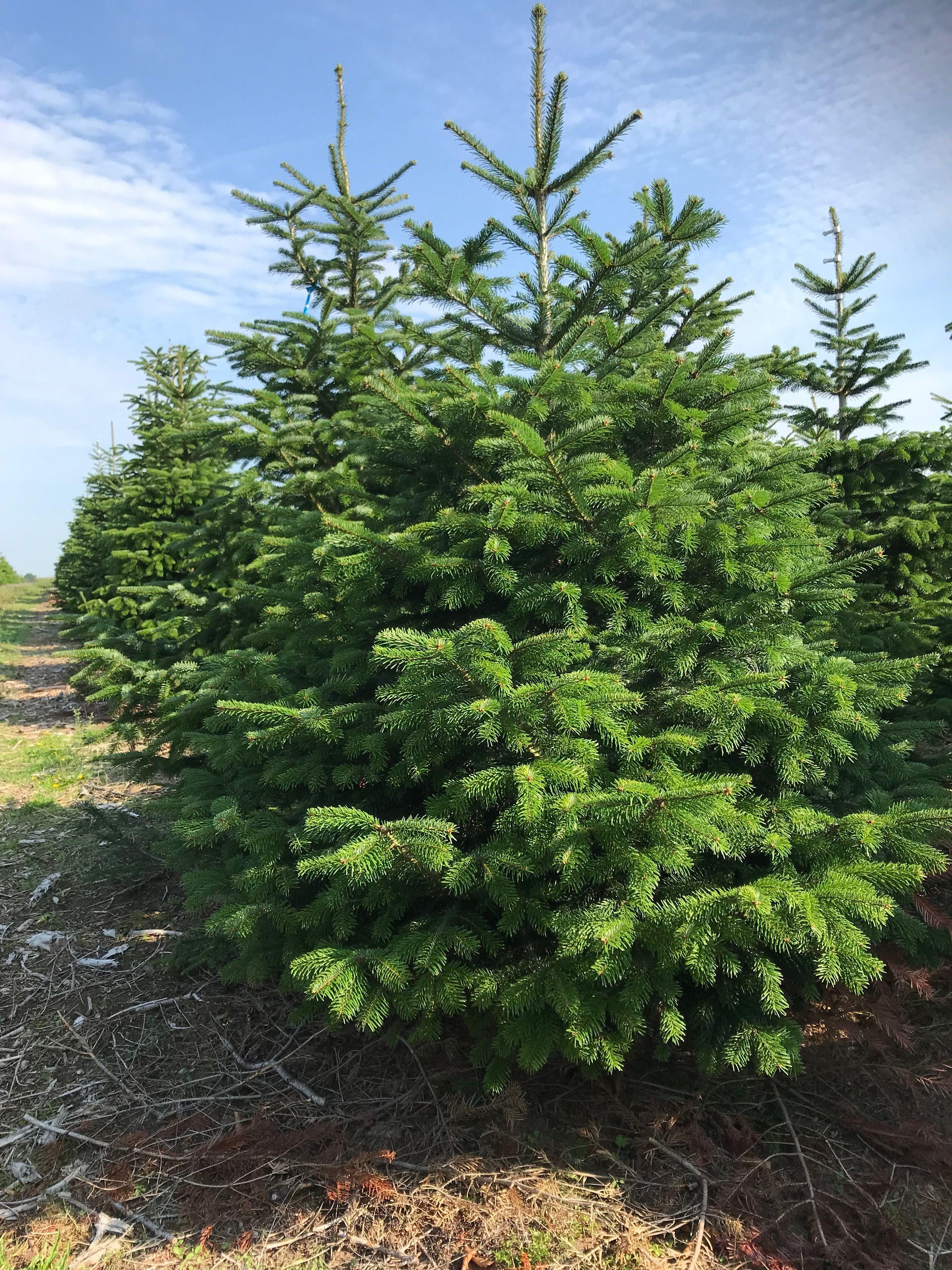 Rockin Around The Christmas Tree Deze Prachtige Nordmann