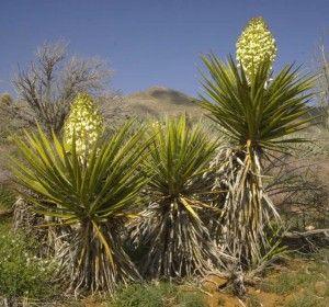 Yucca (Yucca shidigera)