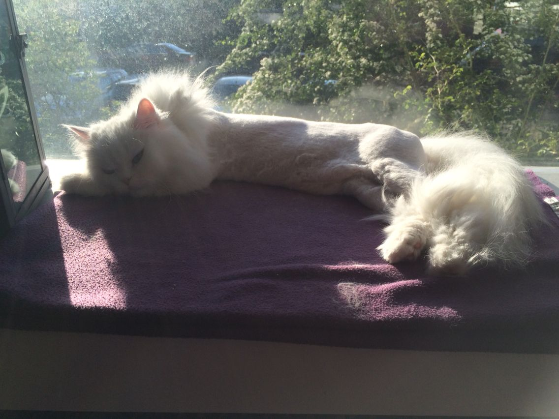 Sunny shaved persian cat / geschoren perzische kat aan het zonnen