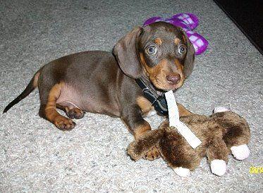 Pin By Nancy Parker Rist On Penny Wienie Friends Weenie Dogs