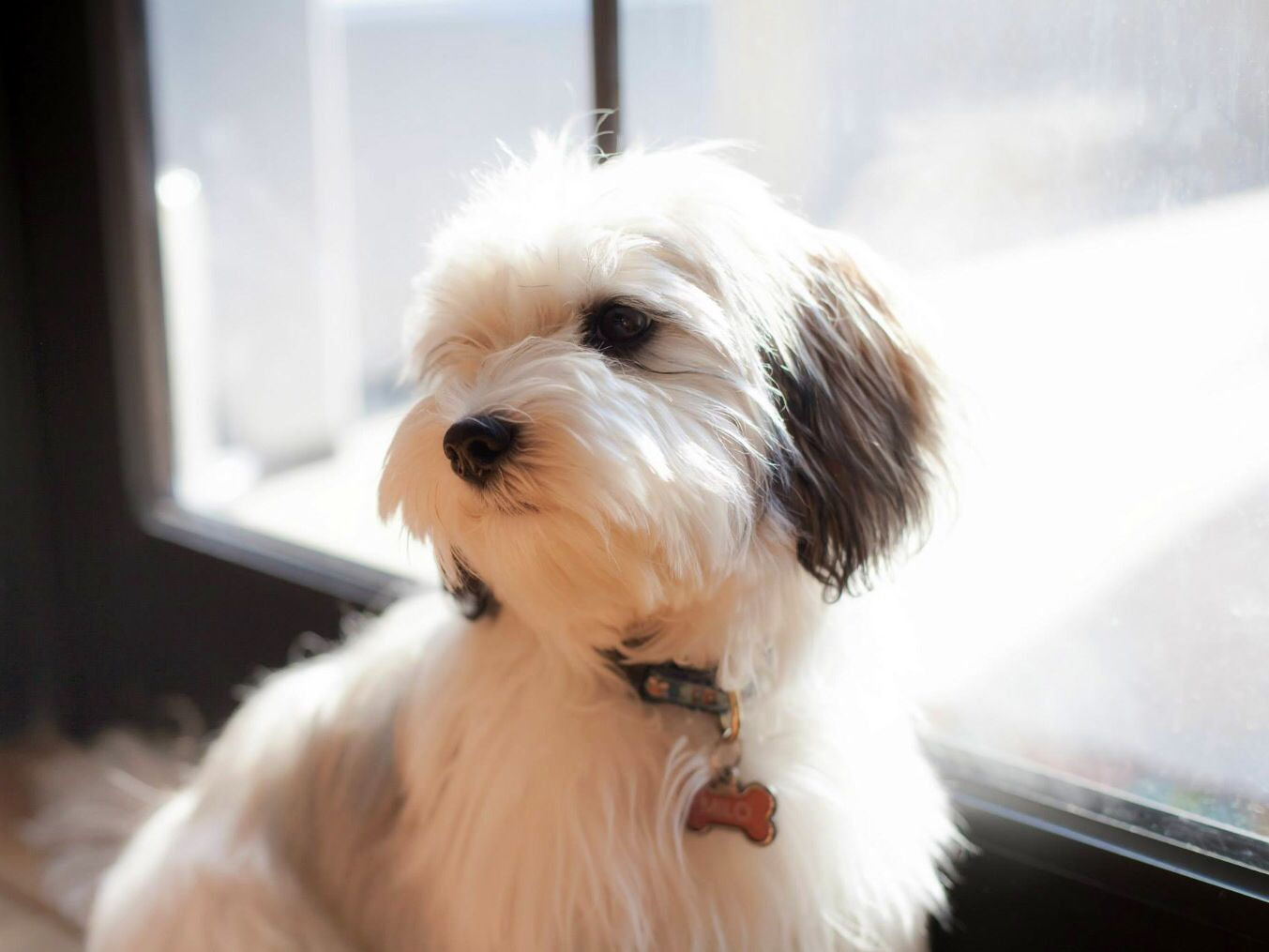 Havanese Puppy Havanese Puppies Havanese Havanese Dogs