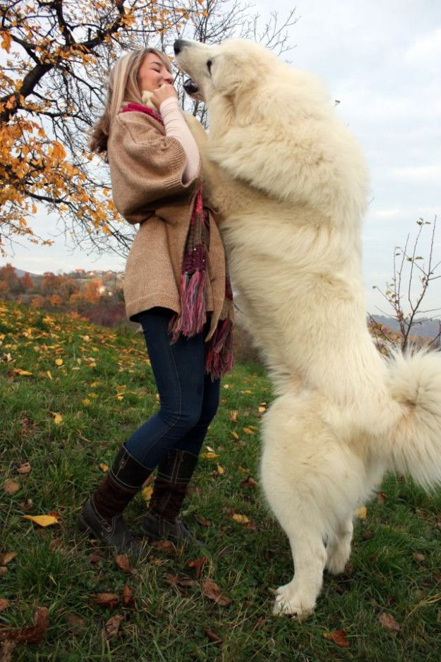 But they make wonderful dance partners. Great pyrenees