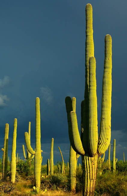Saguaro National Park Tucson Arizona It Takes Up To 75