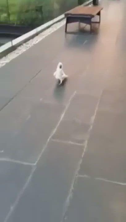 Cockatoo imitating a dog