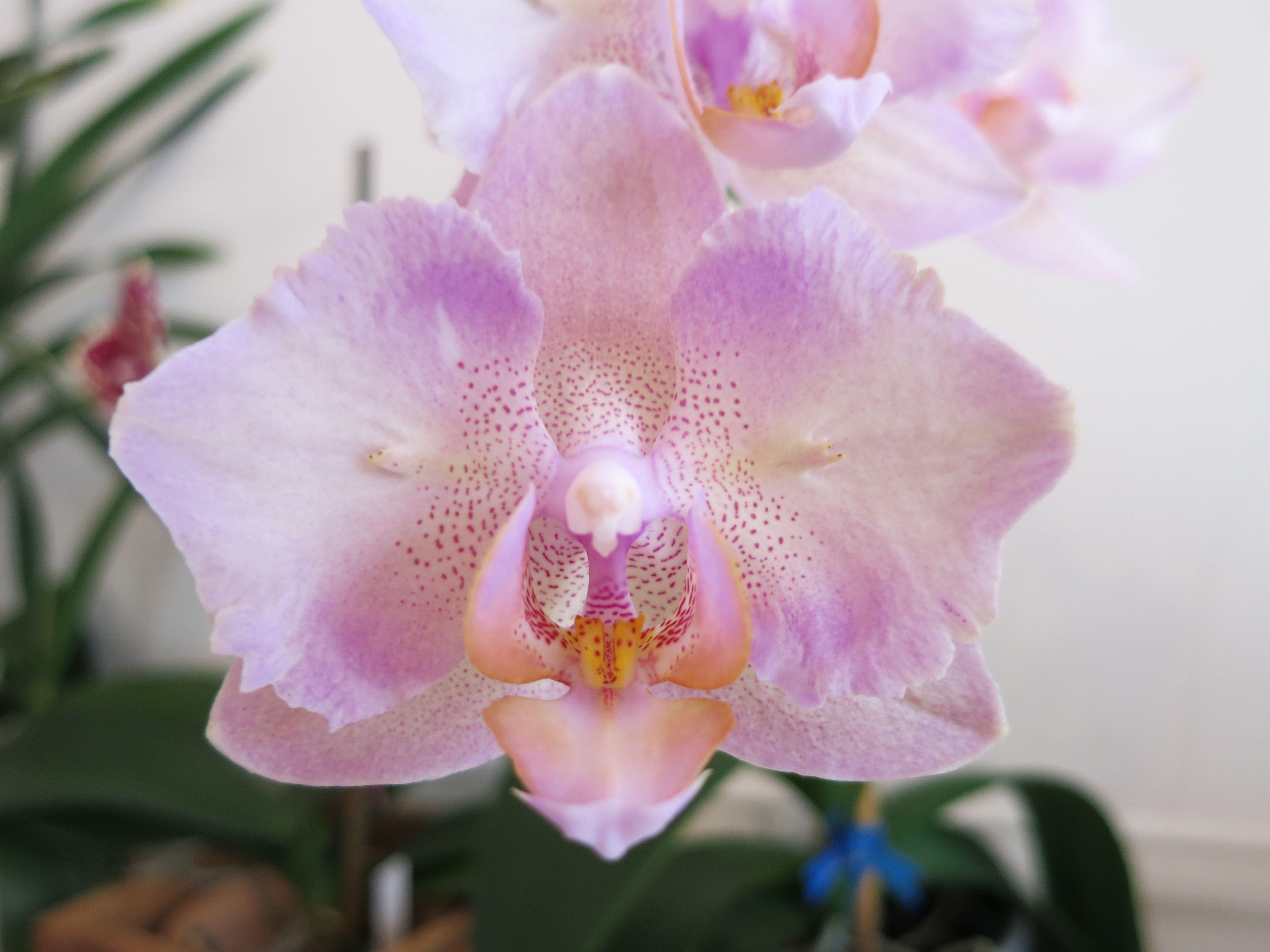 776a7c2003db899d370bd6ecb665c8f1 - How Do I Get My Phalaenopsis Orchid To Rebloom