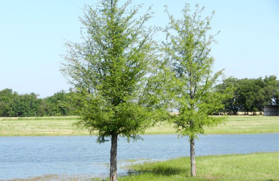 Bald Cypress Trees Dallas, Fannin Tree Farm, Frisco, TX