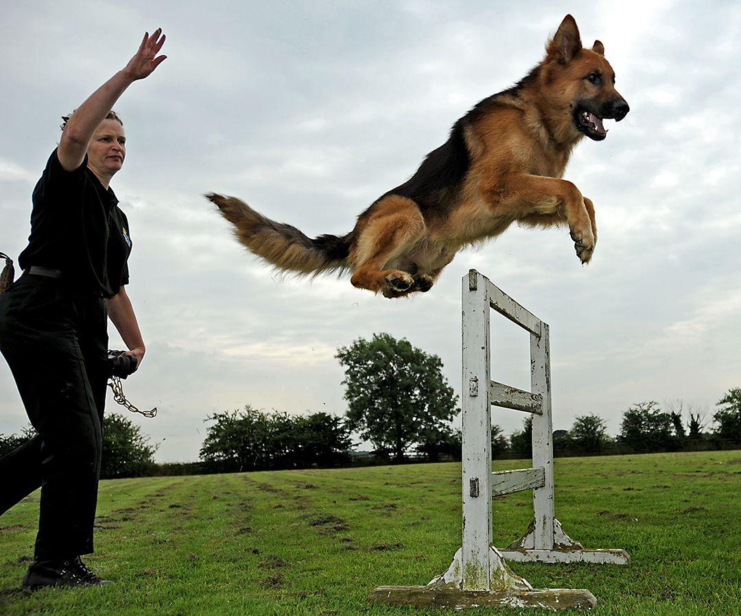 German shepherd police dogs german shepherd jumping