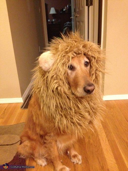 Lion Halloween Costume Contest At Costume Works Com Dog Lion Costume Lion Costume Golden Retriever Halloween