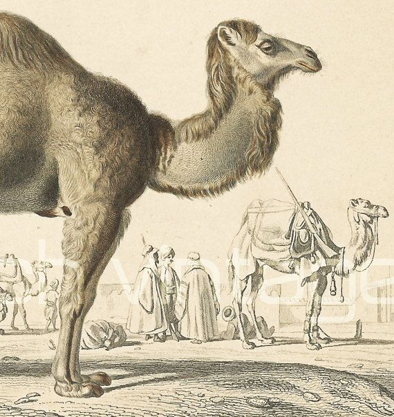 Camel with one hump or #dromedary (Camelus dromedarius). 1/24 of the real size.   This print is taken from the Dictionnaire Universel d'Histoire Naturelle, a publication dir... #orbigny #drawings