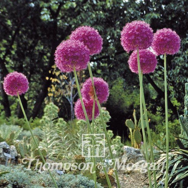 Graines+d'Allium+giganteum++Ail+d'ornement+géant Ail d
