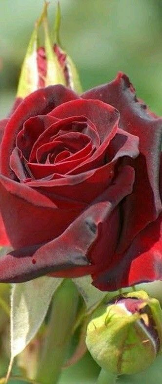 Пин от пользователя Bilal Shiekh на доске Roses | Розы ...