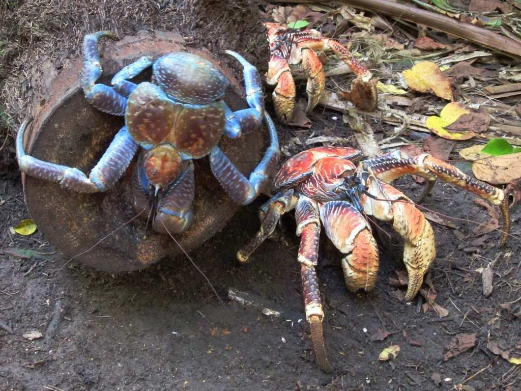 Coconut crab, leg span of more than 3 feet! Coconut crab